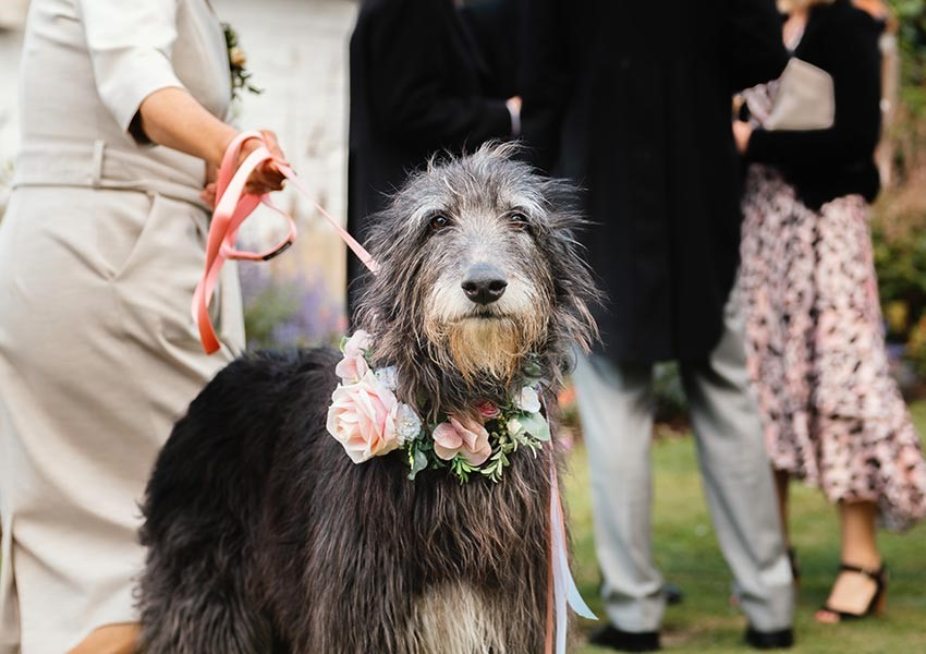 Margot the dog at English country wedding